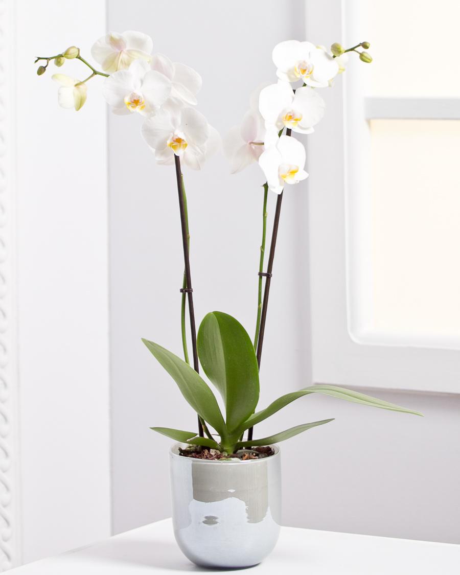 Cserepes orchidea